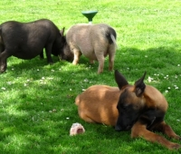 pigs-and-dog